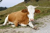 Cow With Long Leg