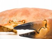 Extreme Closeup Of A Crab Claw With Crab Eyes Staring Over