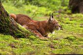 Eurasian Lynx Lat. Lynx Lynx
