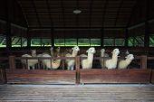 Llama Alpacas In Farm
