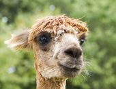 Close up image of Alpaca head