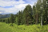 Beautiful forest in the Altai Mountains.