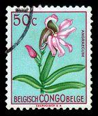 Comet Orchid, Genus Angraecum