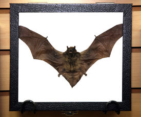 stock photo of vampire bat  - Genuine dead and dried VAMPIRE BAT for sale that You can own - JPG