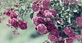 stock photo of climbing roses  - Climbing garden roses  - JPG