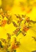 Close-up Of Oncidium Orchid Flower