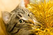 foto of yellow tabby  - Cute tabby cat in Christmas yellow tinsel holiday background - JPG