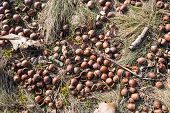 picture of acorn  - Closeup of fallen twigs leaves and acorns on the ground in the forest on a sunny day in winter - JPG