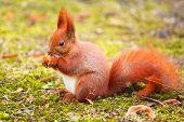 stock photo of hazelnut tree  - Red squirrel eating hazelnut in the park - JPG