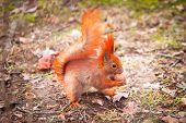 image of hazelnut tree  - Red squirrel eating hazelnut in the park - JPG