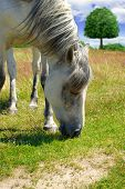 picture of hayfield  - White horse grazing on a green meadow - JPG