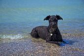 foto of hair streaks  - Big Black Schnauzer dog is lying in the sea and looking at the camera - JPG