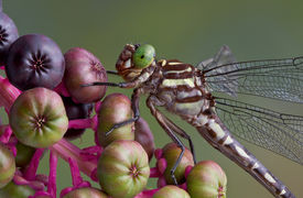 stock photo of pokeweed  - A dragonfly has landed on a branch of pokeweed. ** Note: Slight graininess, best at smaller sizes - JPG
