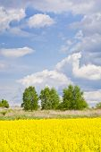 foto of rape-field  - Landscape with rape field during flowering in early spring. Early spring in a sunny nice day in the countryside - JPG