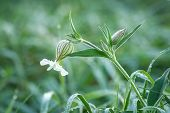 stock photo of bladders  - dewy flowers of the Bladder Campion in autumnal morning - JPG