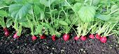 stock photo of radish  - Ripe oval red radishes in the garden - JPG