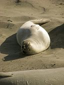 stock photo of sea lion  - A silver baby sea lion basks in the sun on a beach - JPG