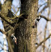 Dendrocopos Leucotos, White-backed Woodpecker