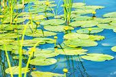 picture of ponds  - Water lily flower on pond with lotus leaves on pond - JPG