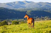 picture of bay horse  - beautiful bay horse lit with the sun to stand a summer meadow against mountains - JPG