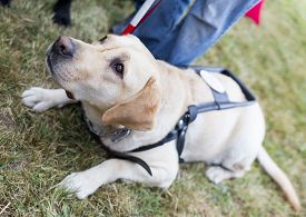 picture of seeing eye dog  - Labrador retriever guide dog before the last training for the animal - JPG