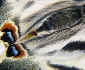 Drawing Of A Butterfly Wing Papilio Machaon