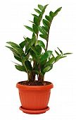 Zamioculcas Zamiifolia Plant