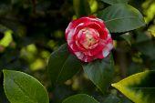 Japanese Camellia Pink Flower On A Bush