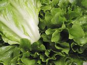stock photo of escarole  - Fresh Escarole leaves also known as Chicory or Endive - JPG