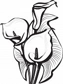 Sketch of calla lilies flowers