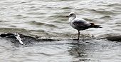 Balancing Seagull