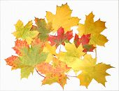 Multi-Coloured Maple Leaves On A White Background