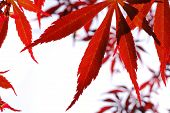 red Japanese Maple Blätter