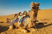Saddled Camel