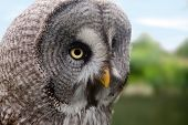 Great Grey Owl or Lapland Owl or Strix Nebulosa