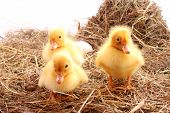 three yellow fluffy ducklings poster
