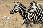 Zebra's Grazing In A Field
