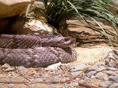 Blacktail Rattlesnake Den