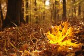 Maple Leaf In Autumn Forest
