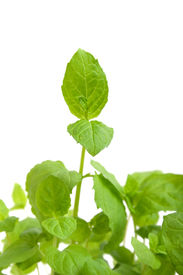foto of mint leaf  - Close up of mint leaves on white isolated background - JPG