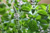 Holy basil  flowers