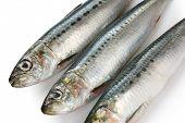 japanese sardine, japanese pilchard