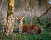 Deer lying in a forest at sunset