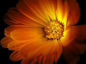 Marigold isolated on black(calendula officinalis)
