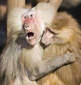 Two sweet baboons holding each other