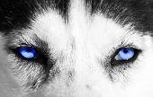 Close-up de olhos azuis de um cão