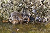 pic of muskrat  - Muskrat sitting on the shore of lake and eating bread - JPG