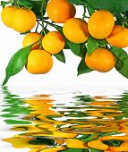 Tangerines on a tree with reflection in water
