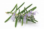 Blossoming branch of rosemary isolated on white