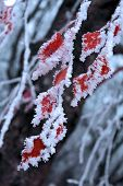 Red leaves of the tree covered with snow